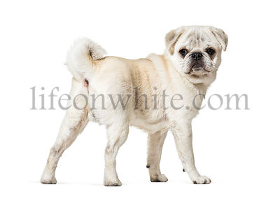 Pug standing against white background