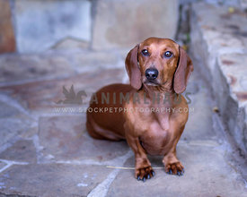 Red Smooth Doxie sits outside on stone walkway looking at camera