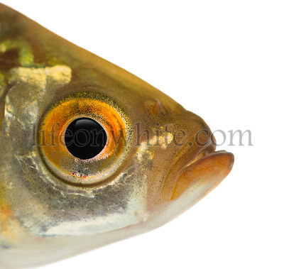 Close-up of a Common roach\'s head, Rutilus rutilus, isolated on white