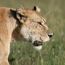 Close-up of Lioness at the Serengeti National Park, Tanzania, Africa