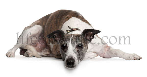 Whippet dog, 10 years old, lying in front of white background