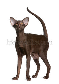 Oriental shorthair cat, 11 months old, standing in front of white background