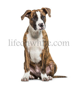 American Staffordshire Terrier, the Amstaff sitting in front of white background