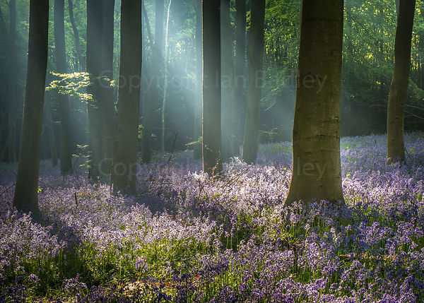 Sunlight rays through trees in a bluebell wood