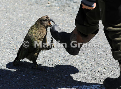 Sub-adult Kea (Nestor notabilis) attacking a tourist's rubber boot in a car park on the Te Anau-Milford Highway, Fiordland Na...