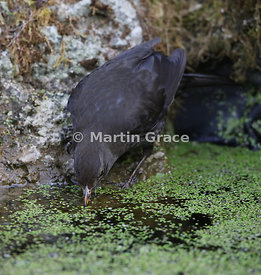 Female Common Blackbird (Turdus merula) drinking from the garden pond, Lake District National Park, Cumbria, England