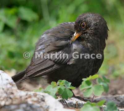Female Common Blackbird (Turdus merula) preens her feathers after bathing, Lake District National Park, Cumbria, England