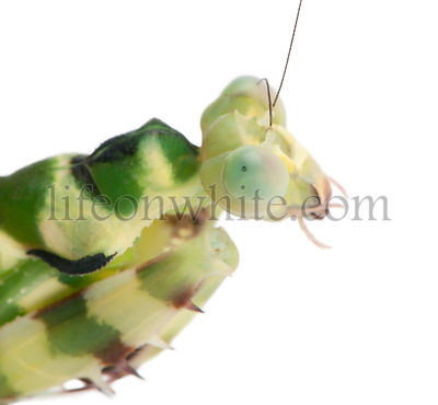 Close-up of Female Banded Flower Mantis or Asian Boxer Mantis, Theopropus elegans, in front of white background