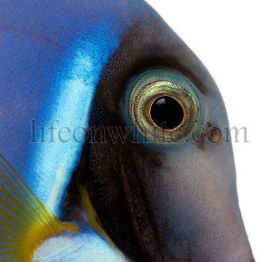 Close-up of a Powder blue tang\'s head, Acanthurus leucosternon, isolated on white