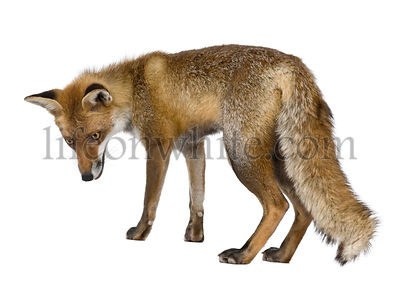 Side view of Red Fox, 1 year old, standing in front of white background