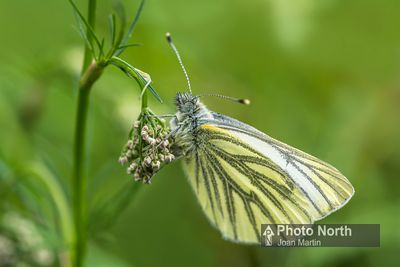 BUTTERFLY 48A - Green-veined white