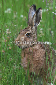 European Brown Hare (Lepus europaeus) in long meadow grass, Cairngorm National Park, Scotland