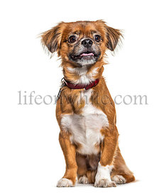 Brown sitting Pekingese dog, wearing a collar, isolated on white