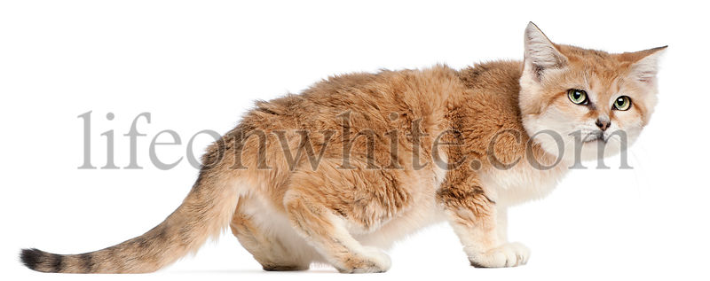 Sand cat, Felis margarita, 17 years old, walking in front of white background