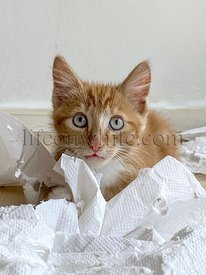 Ginger Kitten, mixed-breed cat, playing with soft white paper