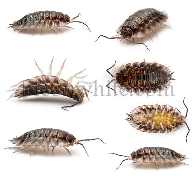 Collage of Common woodlouse, Oniscus asellus, in front of white background