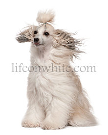 Chinese Crested Dog with hair in the wind, 2 years old, sitting