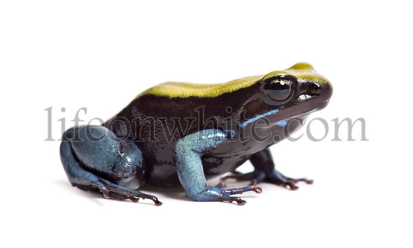 Blue-legged mantella, Mantella expectata, in front of white background