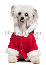 Chinese Crested Dog wearing Santa outfit, 1 year old, sitting in front of white background