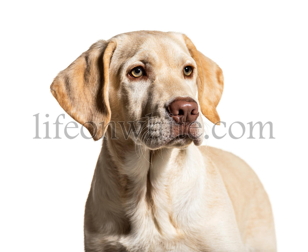Portrait of a cream Labrador, isolated on white