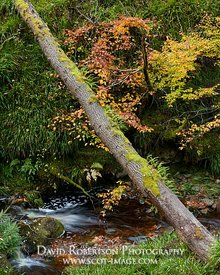 Prints & Stock Image - Fallen tree trunk across a stream, Darnaway, Moray, Scotland.