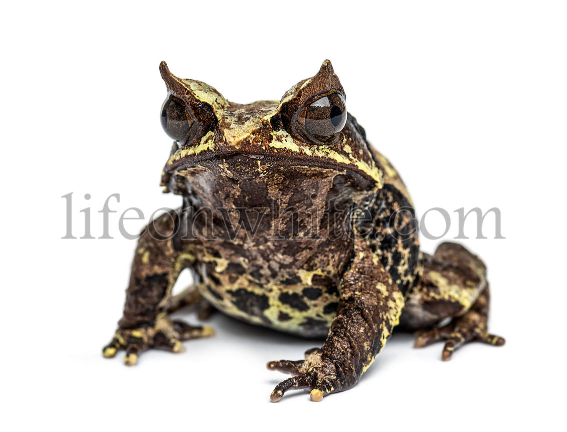 Long-nosed horned frog, Megophrys nasuta, isolated