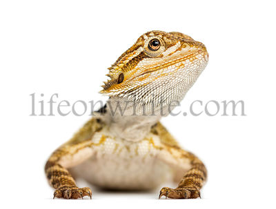 Front view of a Bearded Dragon, Pogona vitticeps, isolated on white