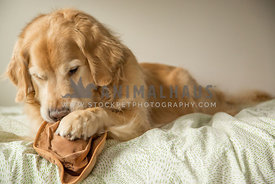 Golden retriever chewing on hat toy