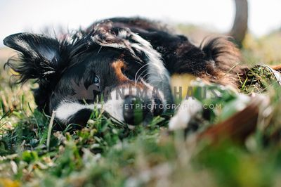 A close up of a Bernese Mountain Dog rolling in the grass