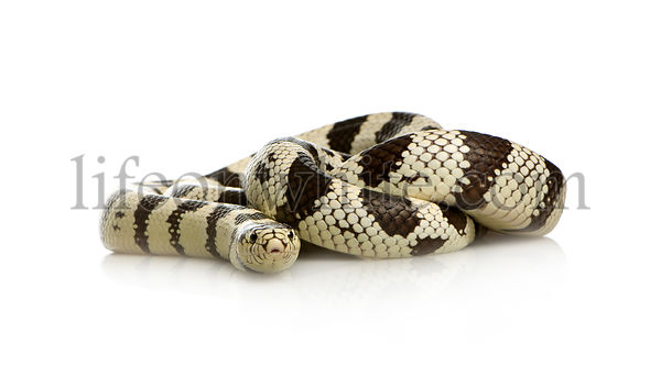 California Kingsnake
