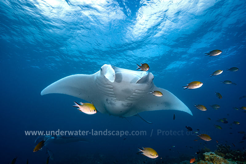 Manta Mother