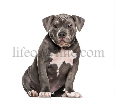 Young American Bully sitting against white background