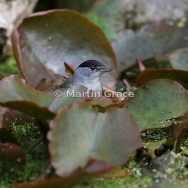 Male Eurasian Blackcap (Sylvia atricapilla) stands among water lily leaves in the garden pond, Lake District National Park, C...