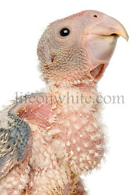 Close-up of African Grey Parrot, Psittacus erithacus, 17 days old, in front of white background