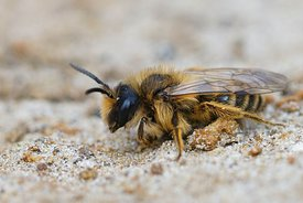 Closeup of a female Yellow-legged Mining Bee, Andrena flavipes on sandy soil