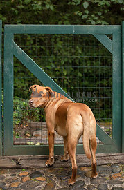 Tan Pitbull Mix  Standing at Green Gate Looking Back