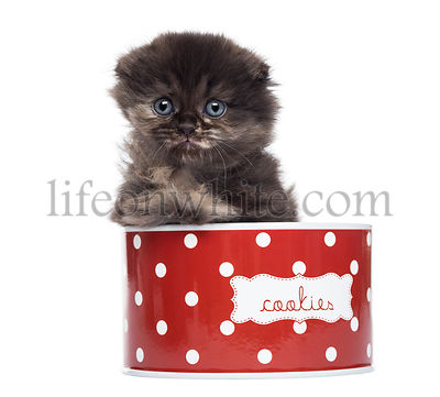 Front view of a Highland fold kitten in a cookie box, isolated on white