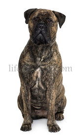 Bullmastiff dog, 18 months old, sitting in front of white background