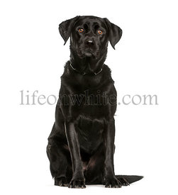 Labrador Retriever, 3 years old, sitting in front of white background