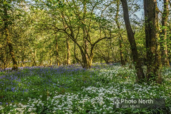 LECK 17A - Ramsons and bluebells in Springs Wood