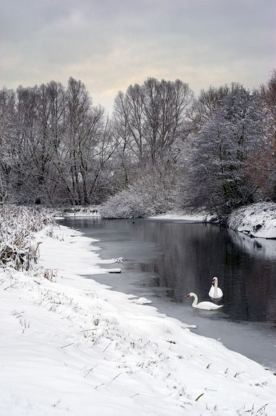 Swans on the Colne in snow