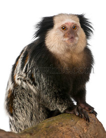 White-headed Marmoset, Callithrix geoffroyi, sitting on log in front of white background