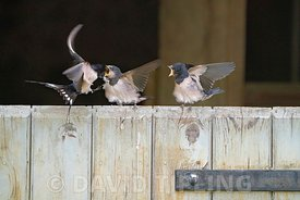 Barn Swallows, Hirundo rustica, young just out of a nest in a barn being fed by parents while perched on barn door, Briston, ...