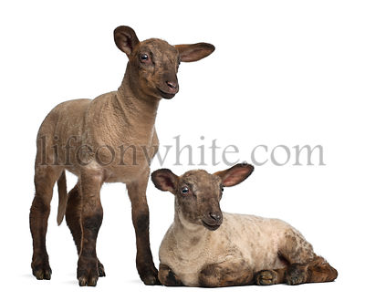 Lambs in front of a white background