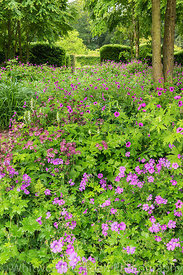 Geraniums and Astrantia underplanted in The Katsura Grove - Cercidiphyllum japonicum - at Scampston Hall Walled Garden, North...