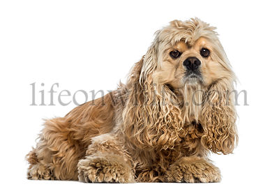 side view of a American Cocker Spaniel (4 years old)