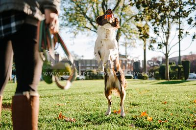 A dog leaps up to catch a chuck-it ball at the park