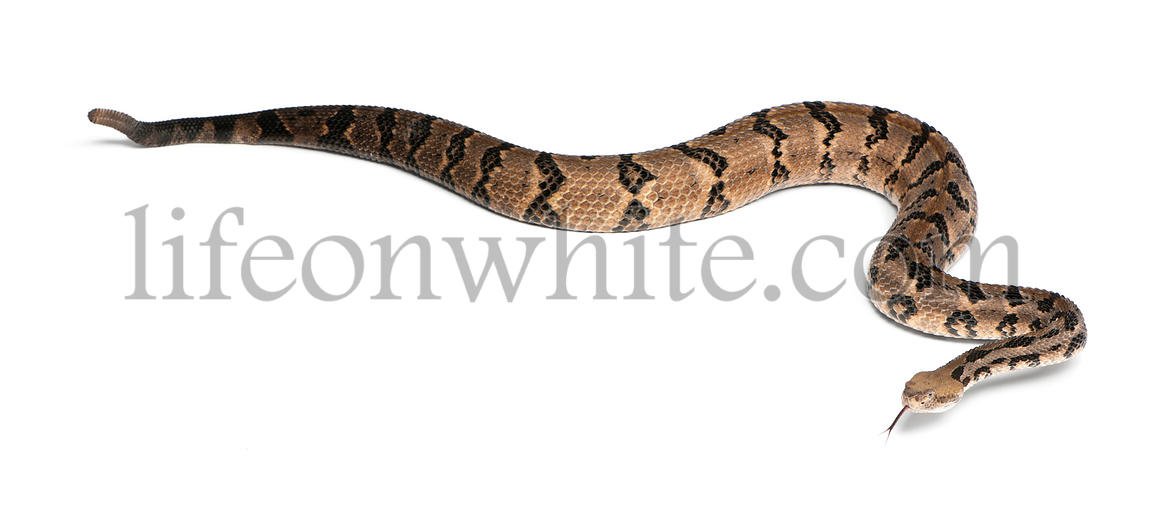 Timber rattlesnake - Crotalus horridus atricaudatus, poisonous, white background