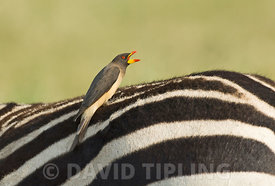 Yellow-billed Oxpecker Buphagus africanus on back of Zebra Masai Mara Kenya