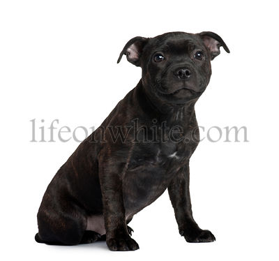 Staffordshire Bull Terrier puppy, 3 months old, sitting in front of white background